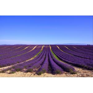 Lavendelveld tuinposter