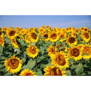 Zonnebloemen tuinposter