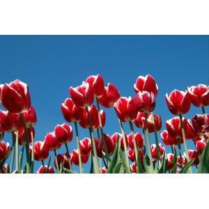 Tulpen tuinposter
