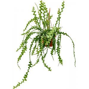 Epiphyllum zaagcactus anguliger S hangplant