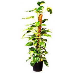Korting Plantenstok kokos 38 x 38 x 60 cm