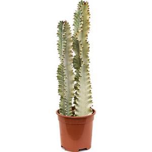 Euphorbia cactus ingens marmorata kamerplant