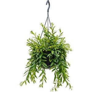 Aeschynanthus japhrolepis hangplant