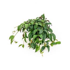Aeschynanthus marmoratus hydrocultuur hangplant