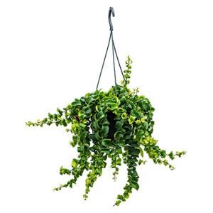 Aeschynanthus rasta hangplant