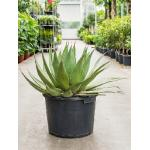 Agave montana billings kamerplant