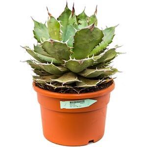 Korting Agave titanova L kamerplant