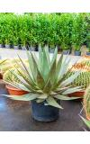 Agave triangularis L kamerplant