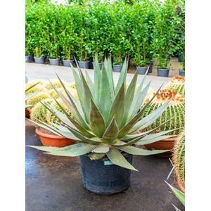 Agave triangularis L kamerplant