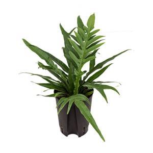 Aglaomorpha varen coronans hydrocultuur plant