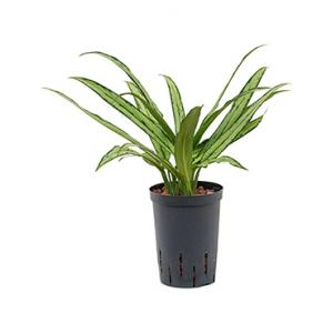 Korting Aglaonema cutlass XS hydrocultuur plant