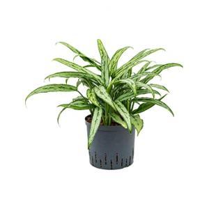 Aglaonema cutlass M hydrocultuur plant