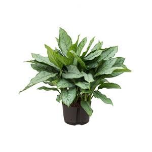 Aglaonema freedman L hydrocultuur plant