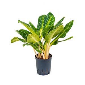 Aglaonema key lime hydrocultuur plant