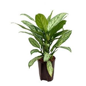 Aglaonema silver king hydrocultuur plant