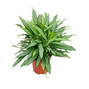 Aglaonema white lance kamerplant