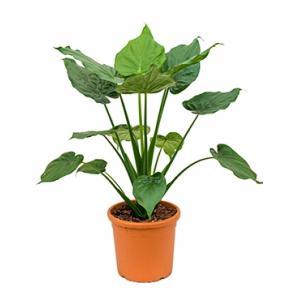 Korting Alocasia cucullata L kamerplant