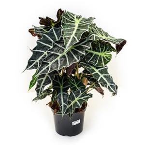 Alocasia polly kamerplant