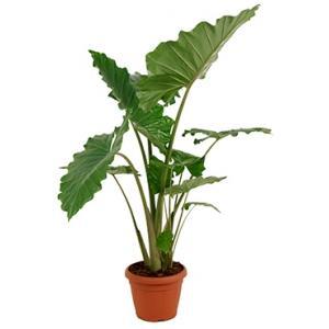 Korting Alocasia portodora L kamerplant