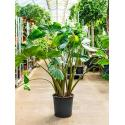 Alocasia stingray M kamerplant