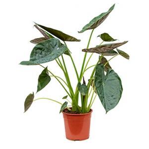 Korting Alocasia wentii L kamerplant