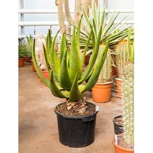 Aloe alooides kamerplant