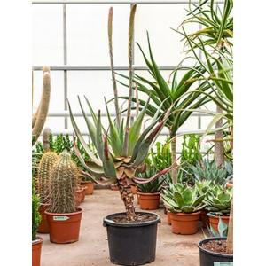 Dagaanbieding - Aloe comosa M kamerplant dagelijkse koopjes