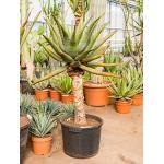 Aloe ferox kamerplant