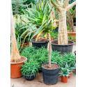 Aloe pluridens africana kamerplant