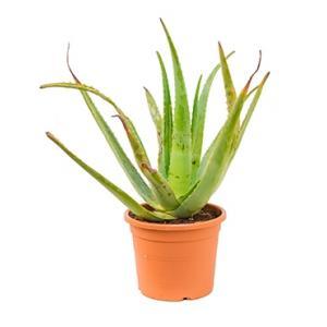 Aloe vera normal kamerplant