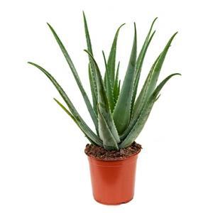 Aloe vera barbadensis M kamerplant