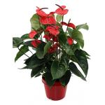 Anthurium andreanum dark red kamerplant
