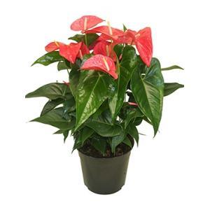 Anthurium andreanum maine M kamerplant