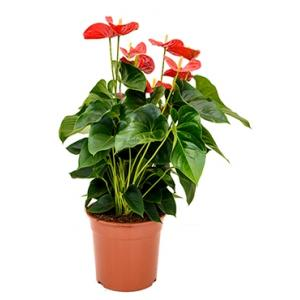 Anthurium andreanum sierra M kamerplant