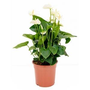 Anthurium andreanum sumi kamerplant