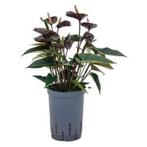 Anthurium black hydrocultuur plant