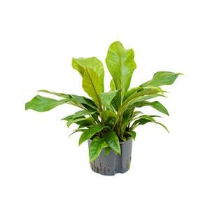 Anthurium jungle bush L hydrocultuur plant