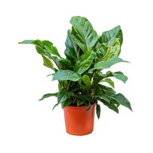 Anthurium jungle bush L kamerplant