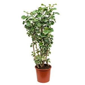 Polyscias aralia balforiana L kamerplant
