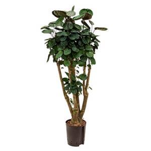 Polyscias Aralia fabian hydrocultuur plant