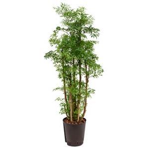 Polyscias Aralia ming M hydrocultuur plant