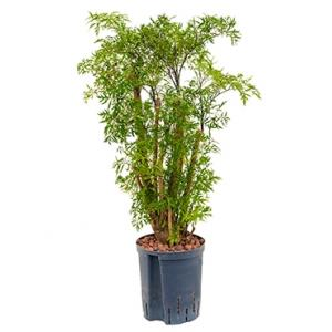 Dagaanbieding - Polyscias Aralia ming S hydrocultuur plant dagelijkse aanbiedingen