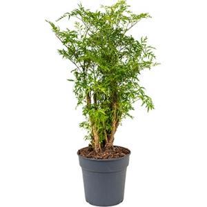 Polyscias aralia ming S kamerplant