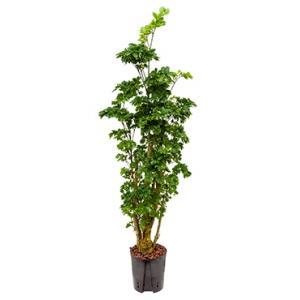 Polyscias Aralia roble M hydrocultuur plant