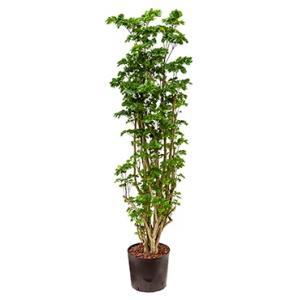 Polyscias Aralia roble L hydrocultuur plant