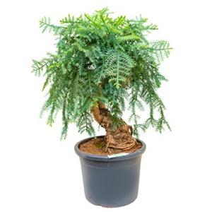 Araucaria cunninghamii L bonsai kamerplant