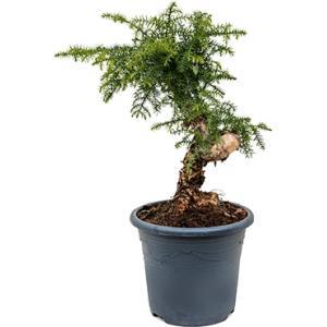 Araucaria cunninghamii XS bonsai kamerplant