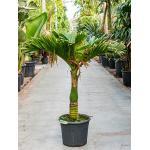 Areca Palm catechu dwarf kamerplant