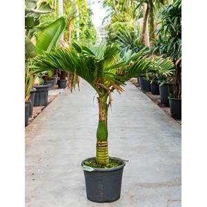 Areca Palm catechu dwarf kamerplant