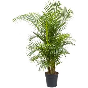 Areca Palm lutescens L kamerplant
